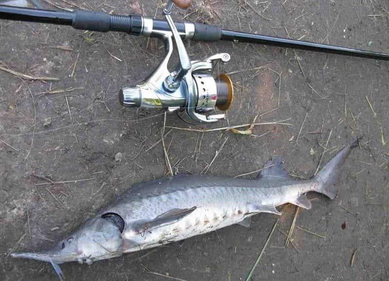 На что ловить осетра на платнике? - рыболовные подборки