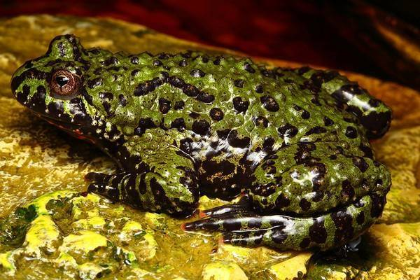 Роющая лягушка | мир животных и растений