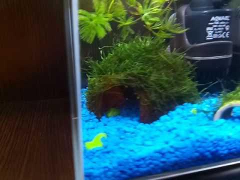 Памятка для начинающих — запуск аквариума — мафия betta splendens рыбка петушок