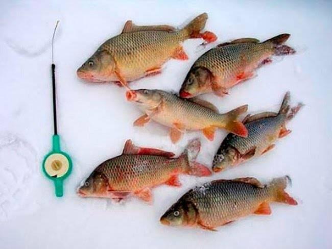 Ловля карпа зимой: видео, особенности зимней рыбалки на пруду