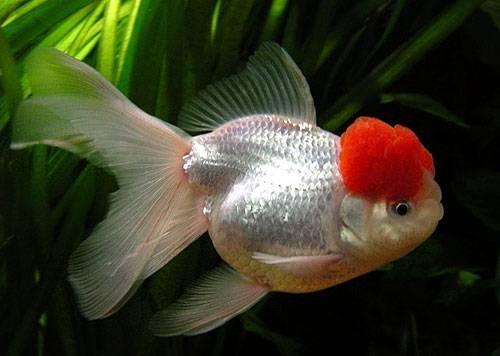 Золотые рыбки: разновидности, выбор, уход и разведение