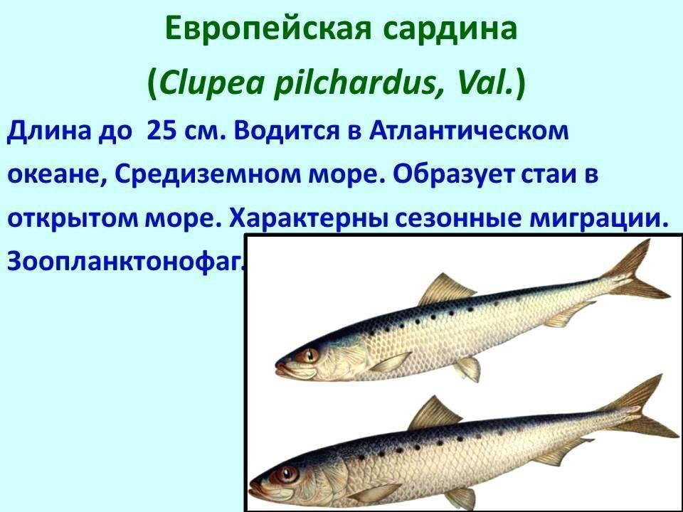 Всё что вы хотели знать о треске – рыбе северных морей