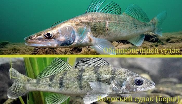 Рыба берш костлявая или нет. берш: отличие от судака, как готовить рыбу