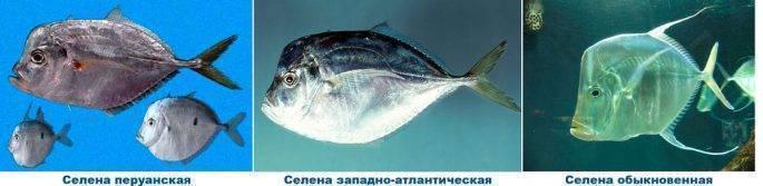 Рыба вомер – 5 рецептов приготовления