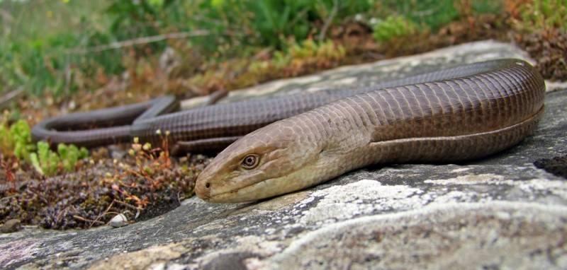 Прыткая ящерица: фото, описание, места обитания, образ жизни