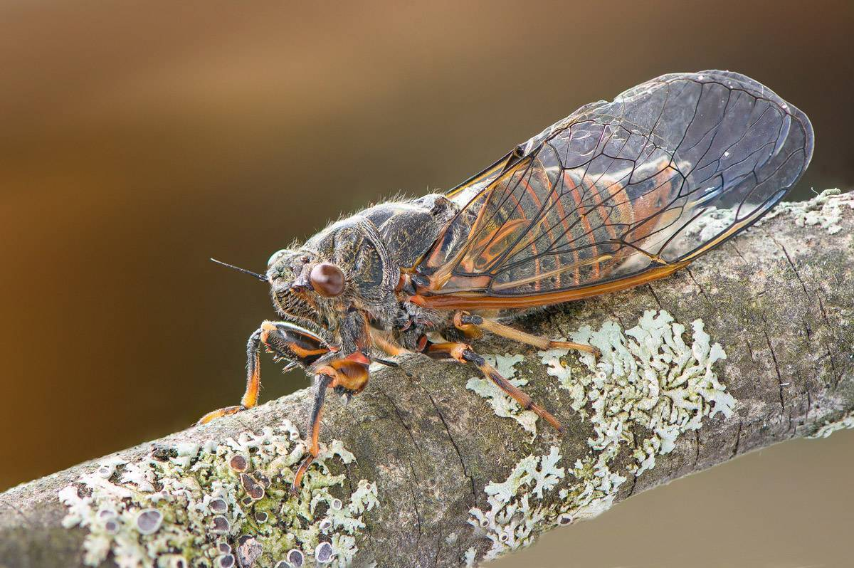 Овод насекомое. описание, особенности, виды, образ жизни и среда обитания овода   живность.ру