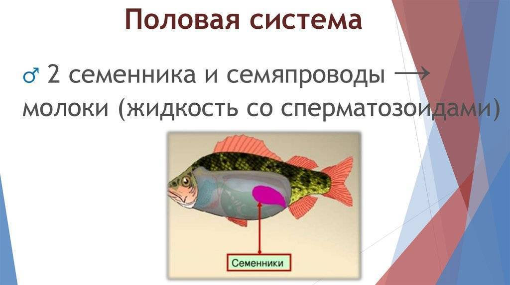 Размножение живородящих и икромечущих рыбок: как размножаются рыбы в аквариуме