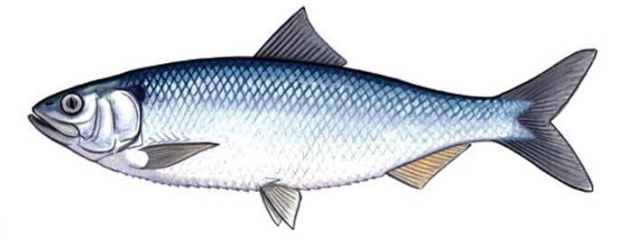 Рыбалка на селедку на волге