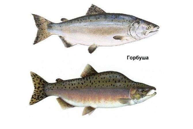 Ловля лосося или семги на спиннинг: воблеры и блесны для спиннинга на лосося