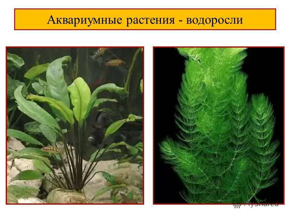 Топ-10 лучших растений для аквариума