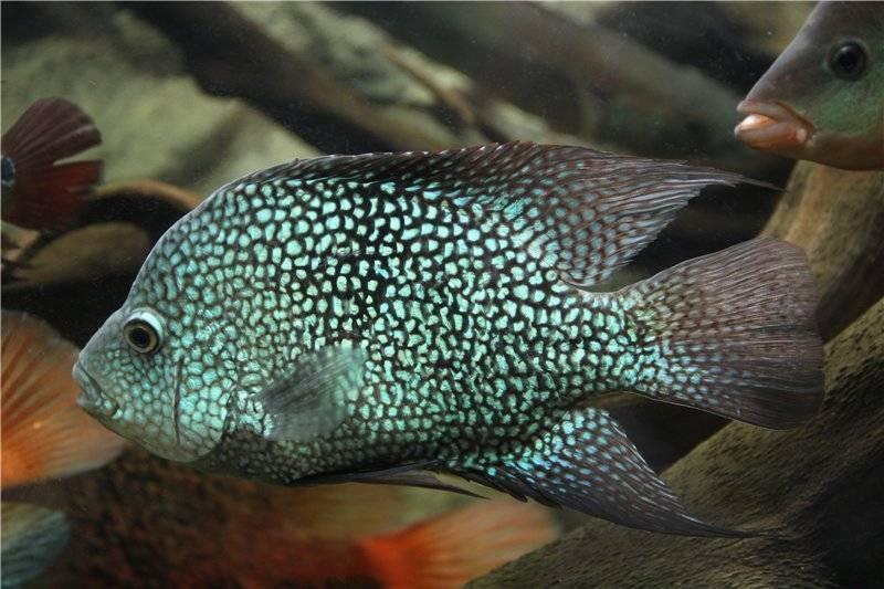 Цихлазома меека: уход за цихлидой в домашних условиях, её совместимость с разными аквариумными рыбами