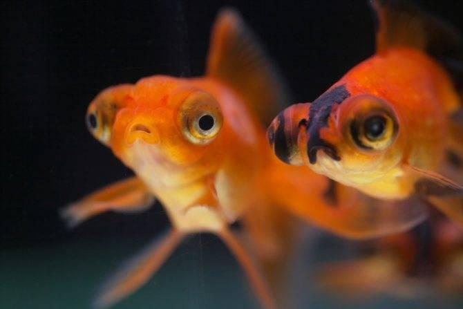 Рыба-телескоп: содержание в домашнем аквариуме, уход за пучеглазой рыбкой