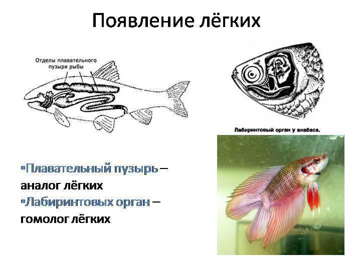 Анисимова и.м., лавровский в.в. ихтиология. строение и некоторые физиологические особенности рыб. нервная система и органы чувств - электронная биологическая библиотека