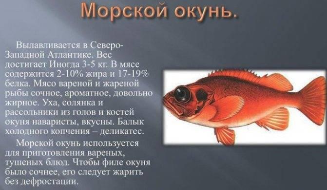 Морской окунь: польза и вред