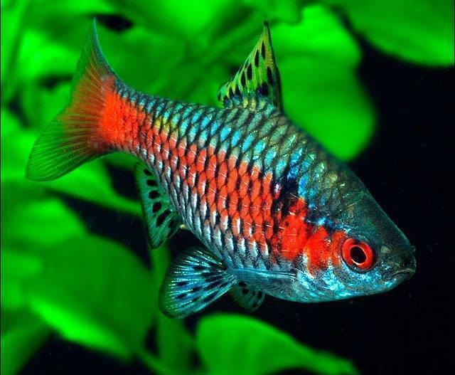 Все о рыбках барбусах: содержание, совместимость и уход