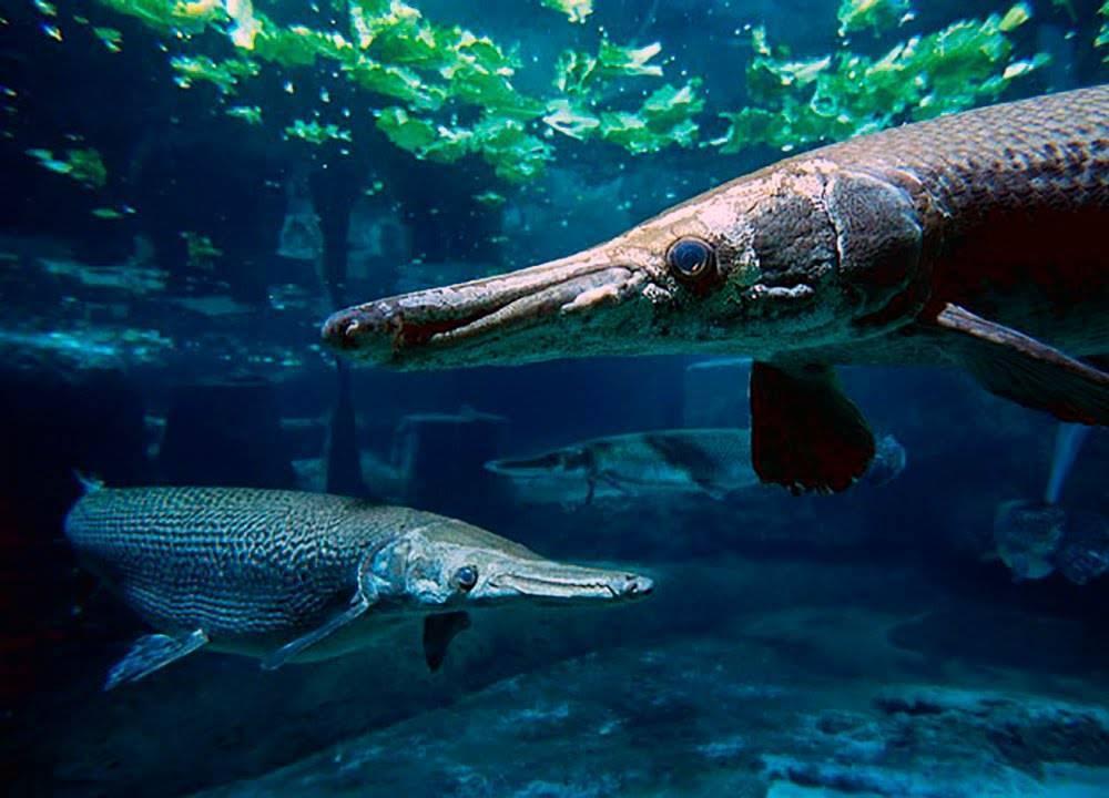 Аллигаторовая щука – описание, среда обитания, особенности поведения, рыбалка