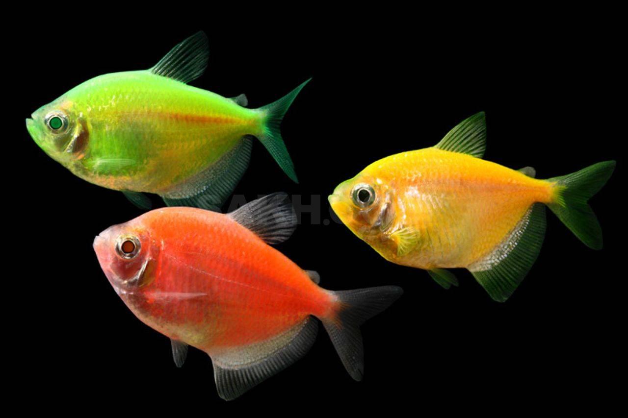 Данио глофиш (danio glofish): содержание и размножение флуоресцентных рыбок, фото разноцветных видов, а также совместимость, болезни и правила кормления