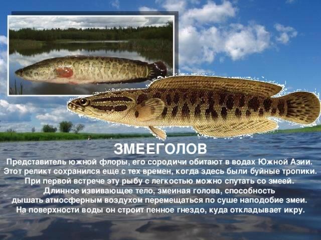 Змееголов (рыба): описание и фото :: syl.ru