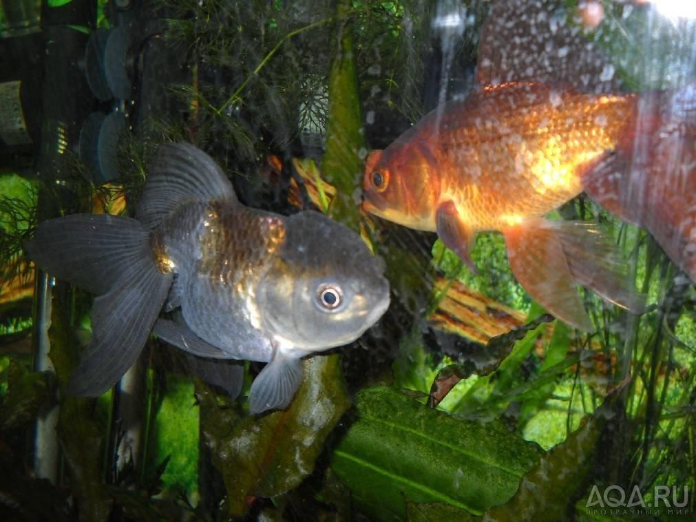 Стерлядь в аквариуме