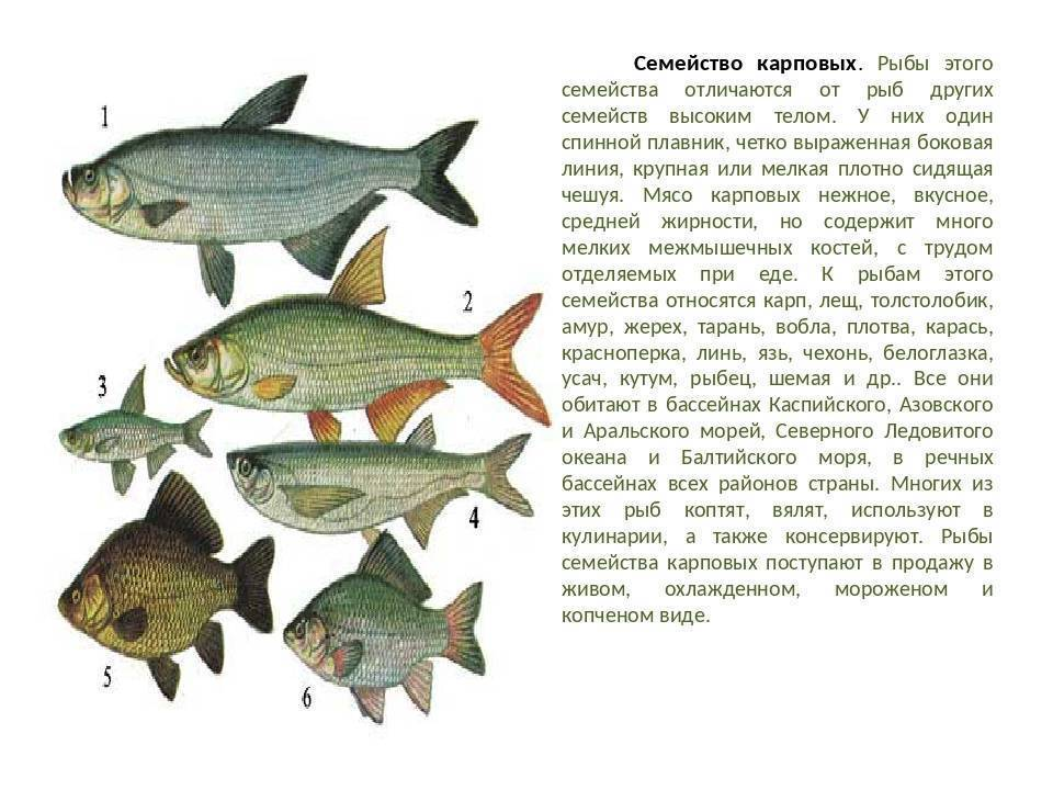 Рыба корюшка: польза и вред, фото и приготовление