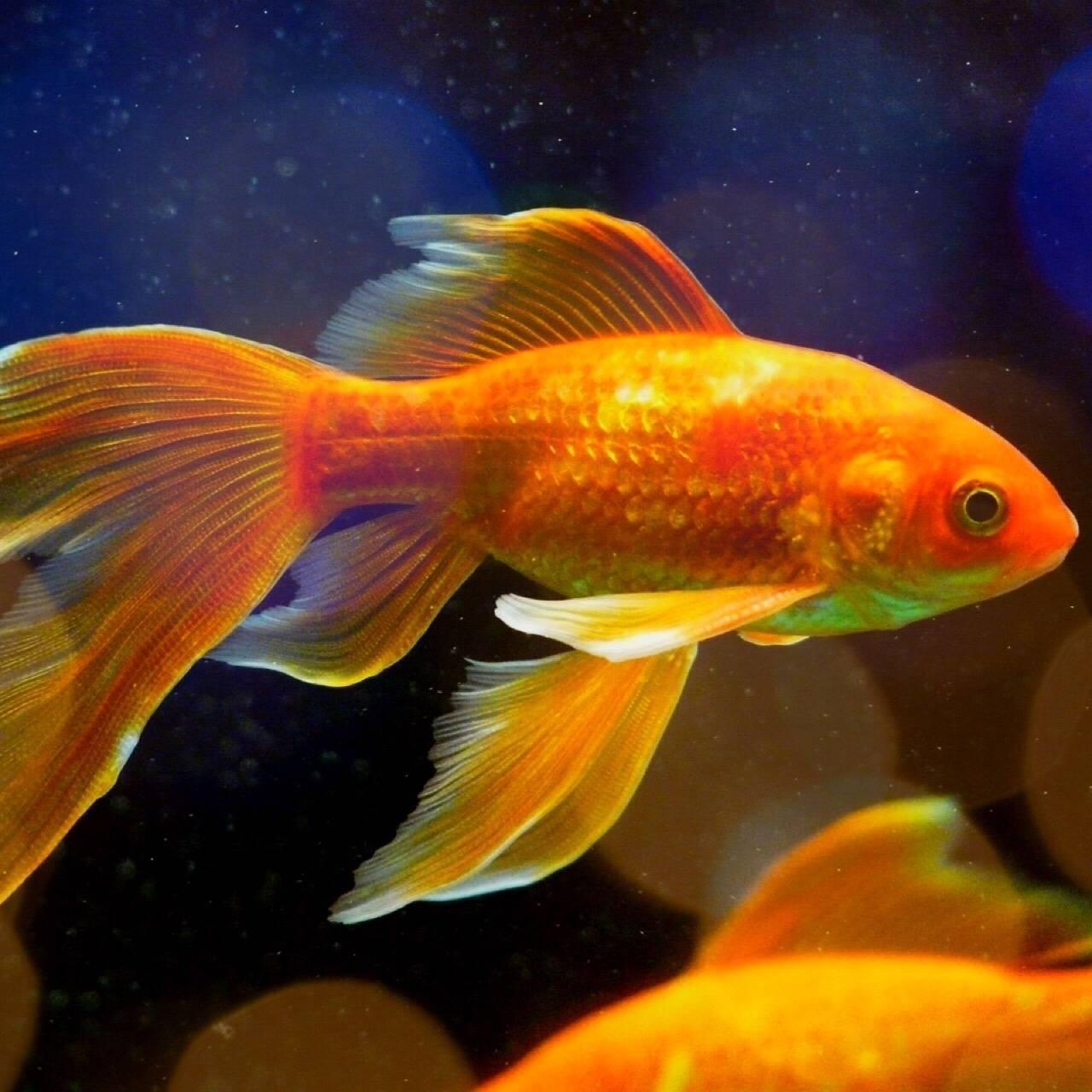 Аквариумные золотые рыбки: уход и содержание