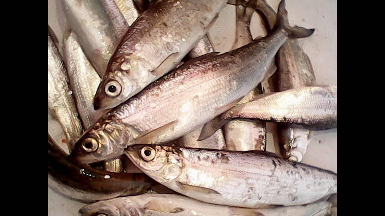 Рыба ряпушка: где водится, речная или морская рыба