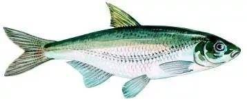 Какие виды рыб обитают в черном море — названия, фото и характеристика