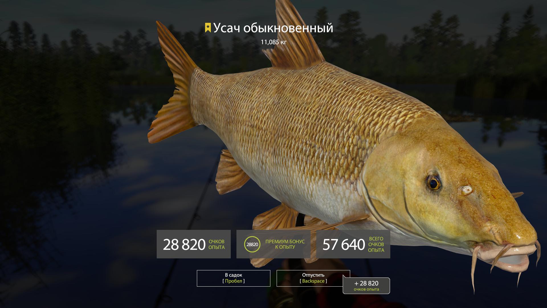 Ауха или китайский окунь – хищная рыба дальнего востока и китая