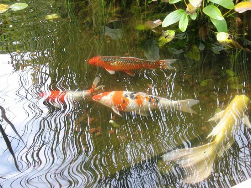 Как приготовить корм для прудовых рыб в домашних условиях?
