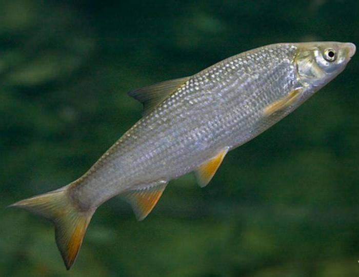Особенности ловли хищных речных рыб - на рыбалке!