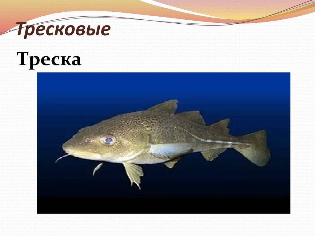 Рыба семейства тресковых: какого размера и отличительные внешние признаки, виды тресковых