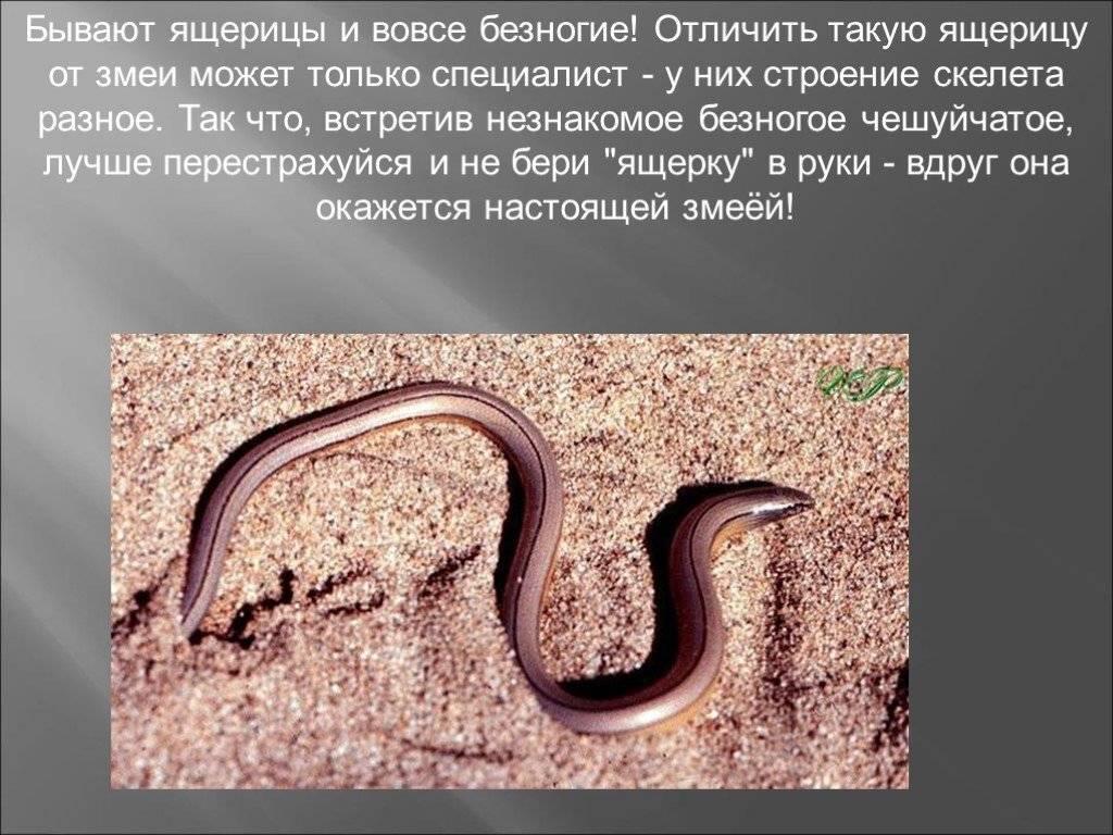 Ящерицы: описание, среда обитания, что едят, сколько живут