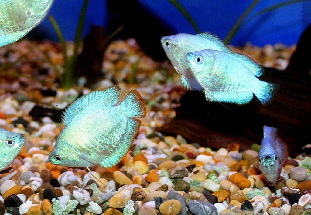 Рыбка лялиус содержание в аквариуме, разведение, кормление, виды