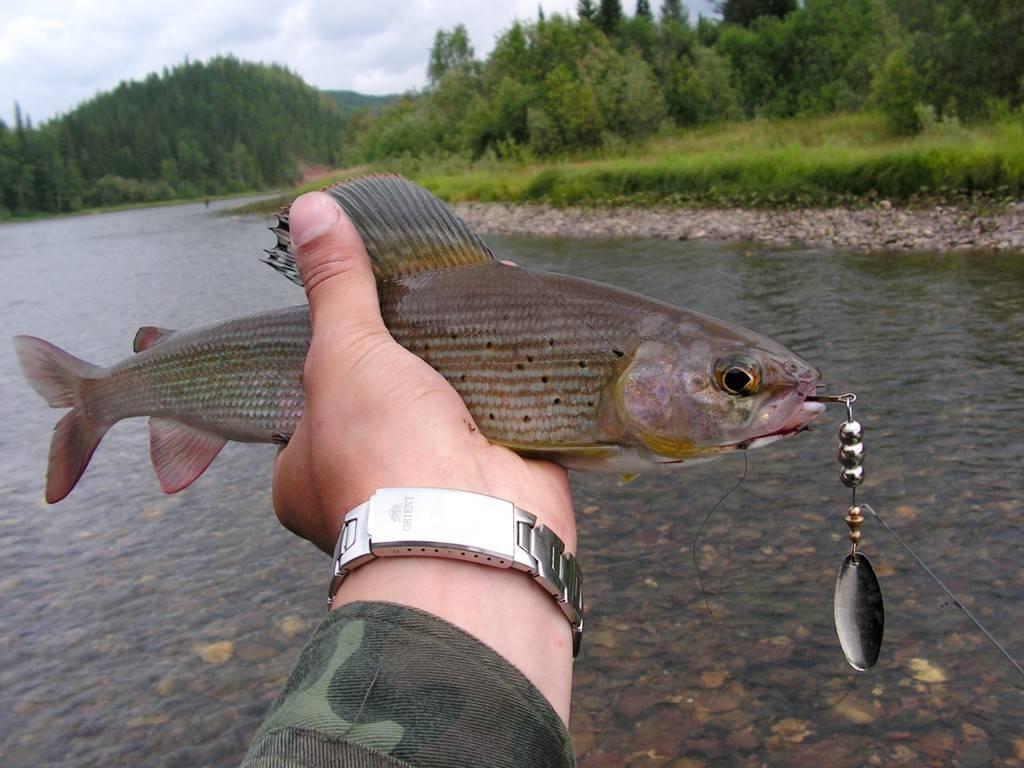 Рыбалка на хариуса в красноярске, ловля на балду в енисее