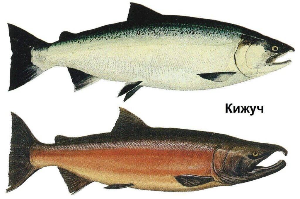 Какая рыба лучше нерка или кижуч ⋆ macho's rules