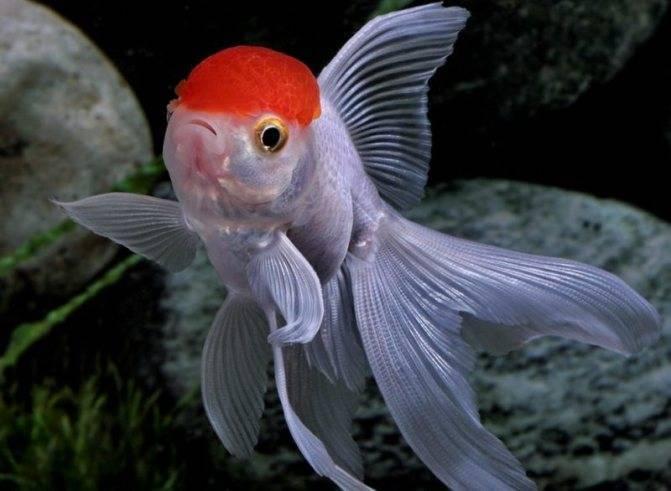 Золотая рыбка: уход, аквариум, правильное содержание, родина, как выглядят (описание), размеры, виды