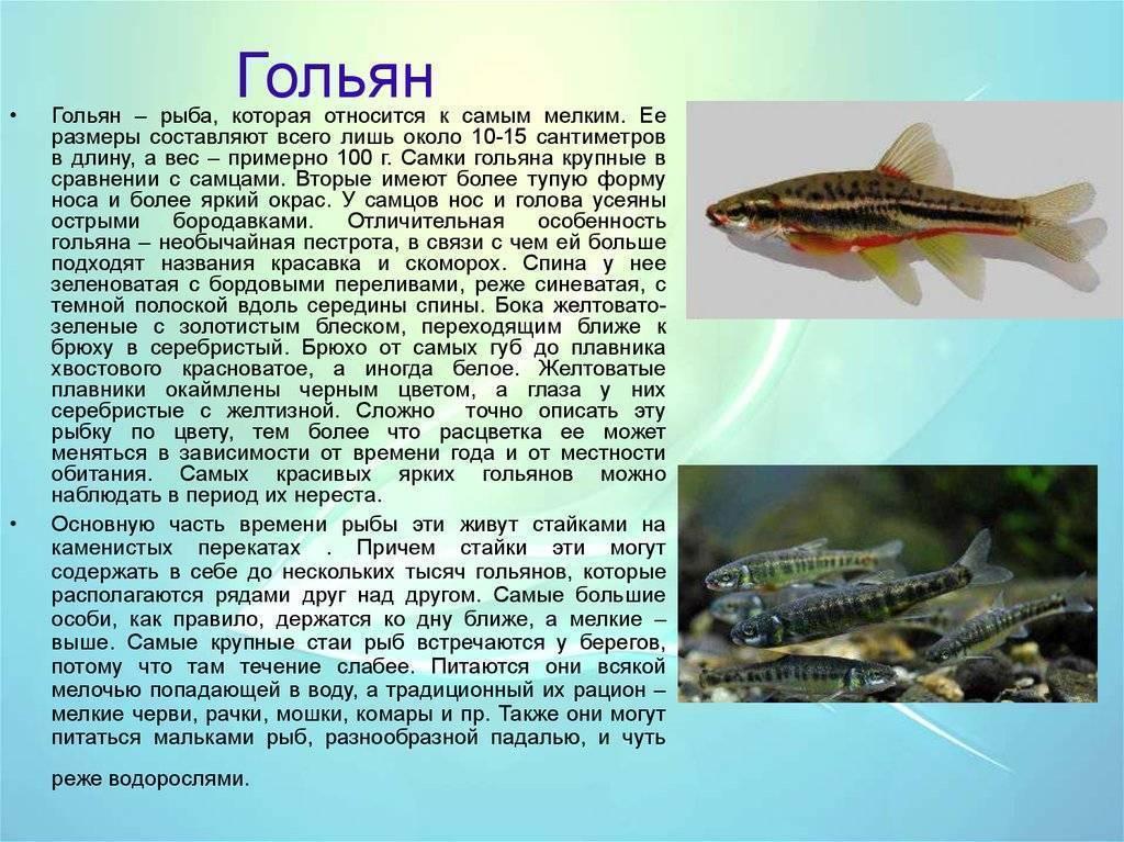 Голец рыба. образ жизни и среда обитания рыбы голец   животный мир