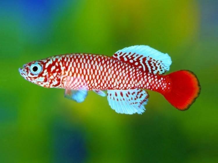 Нотобранхиусы: правильное содержание рыбок в домашнем аквариуме