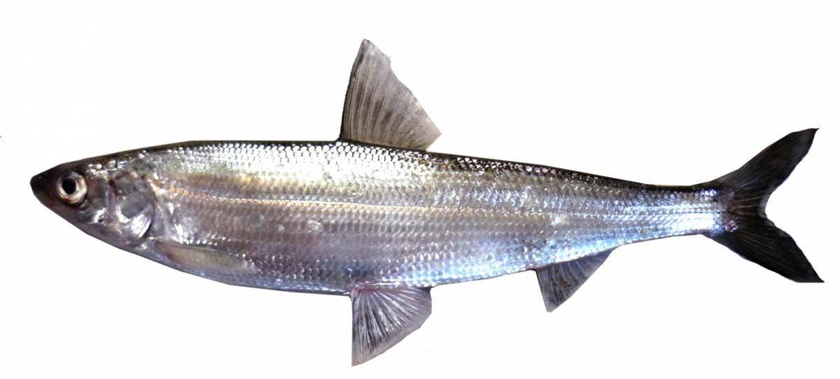 Ряпушка — польза, калорийность и где водится рыба. как готовить ряпушку в домашних условиях