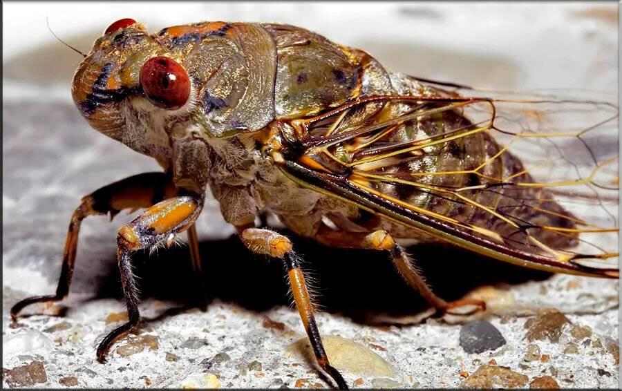 Муха цикада