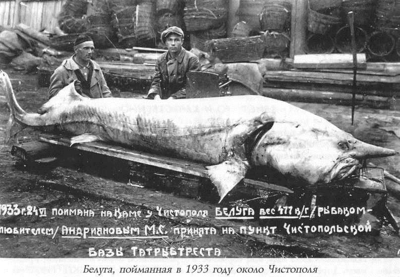 Рыба белуга: значение и искусственное разведение — cельхозпортал