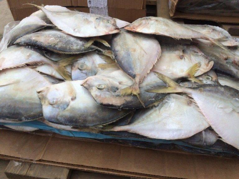 Рыба вомер: где обитает, особенности образа жизни, опасность для человека
