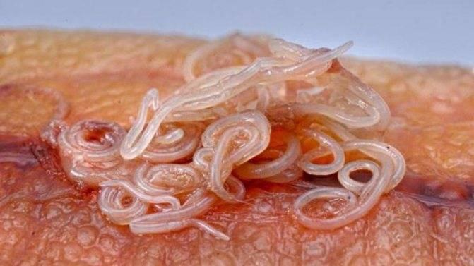 Признаки заражения паразитами от рыбы - все про паразитов