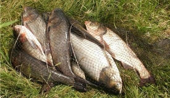 Как ловить толстолобика в прудах летом, способы поймать на удочку