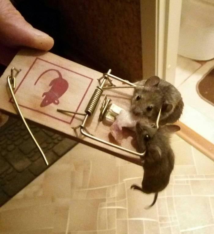 Какую приманку положить в мышеловку – 6 любимых продуктов мышей и крыс