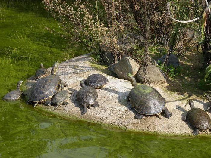 Сколько живёт красноухая черепаха