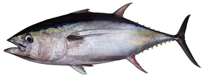 Кто такой макрелевый тунец