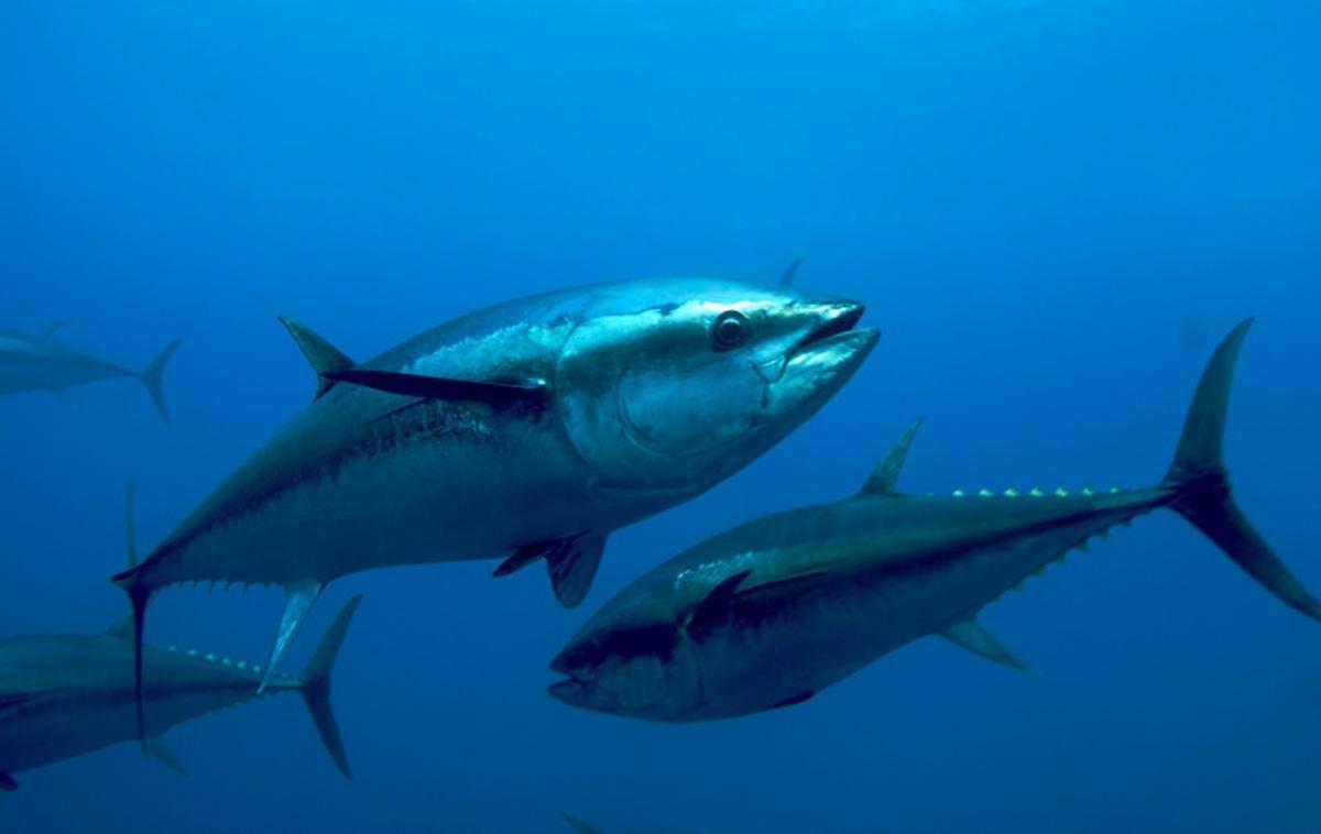 Рыба тунец: фото, вкусные рецепты приготовления, полезные свойства и противопоказания
