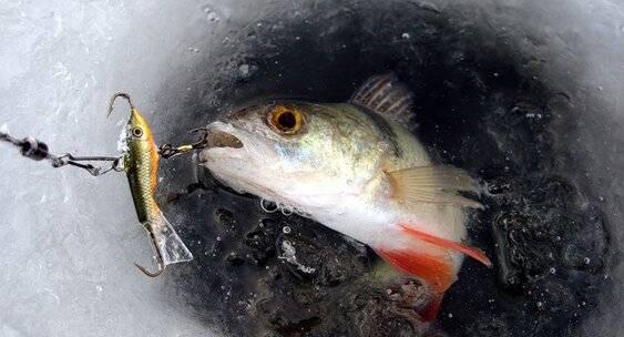 Ловля окуня зимой: на зимние снасти, удочки и приманки, где искать и как ловить окуня зимой на рыбалке