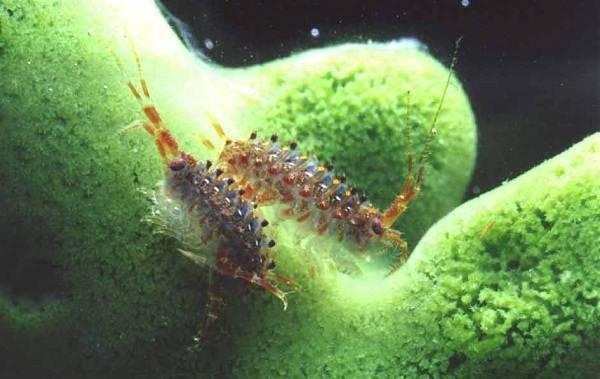 Гаммарус - корм для аквариумных рыбок: разведение в домашних условиях, хранений (живой, сухой, замороженный), чем питается